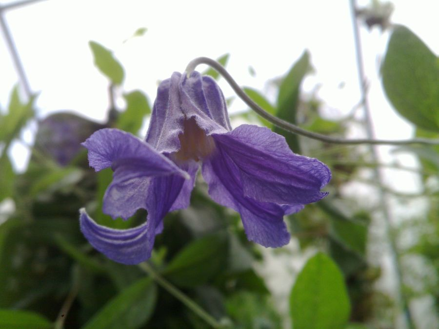 Clematis Integrifolia up shot