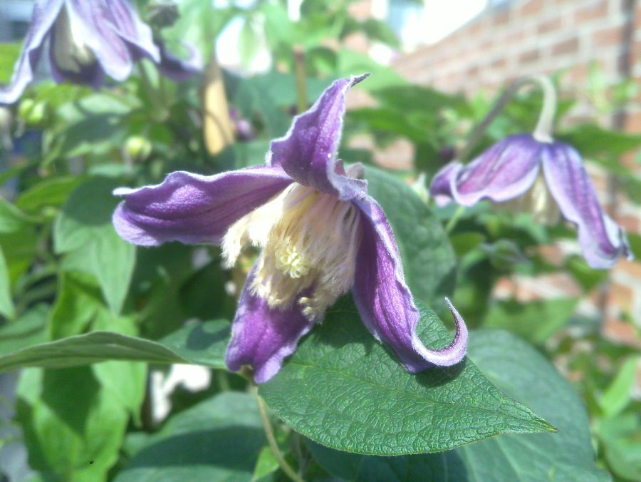 Clematis Jan Fopma up shot
