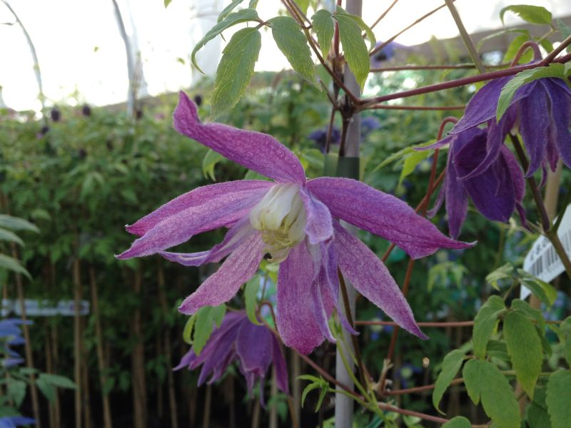Clematis macropetala Jan Lindmark pinky purple vein