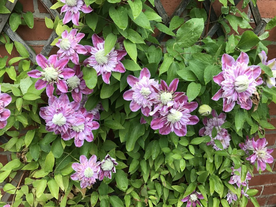 Clematis Josephine in our courtyard