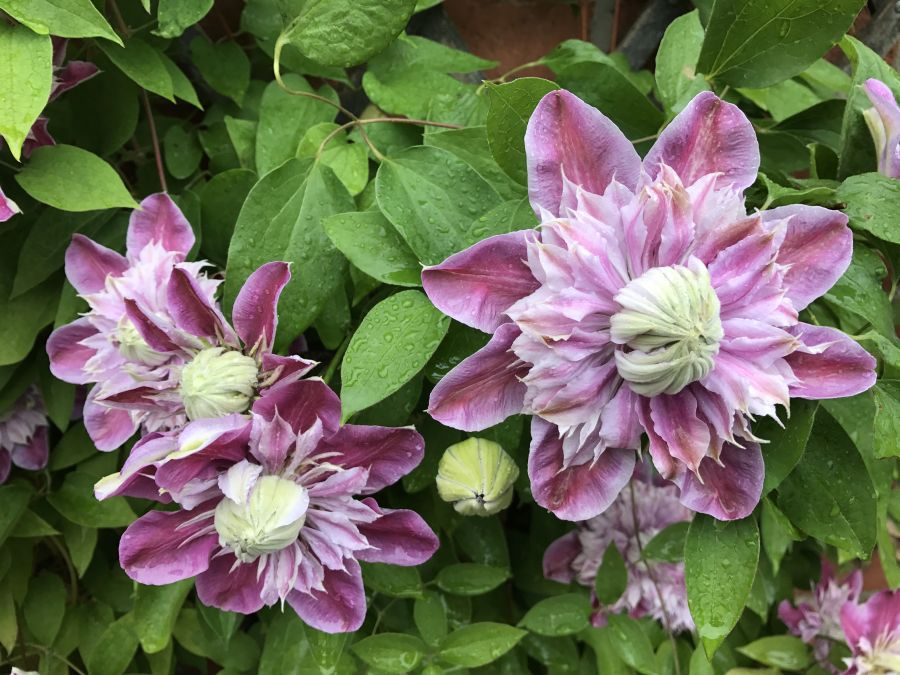 Clematis Josephine great double blooms