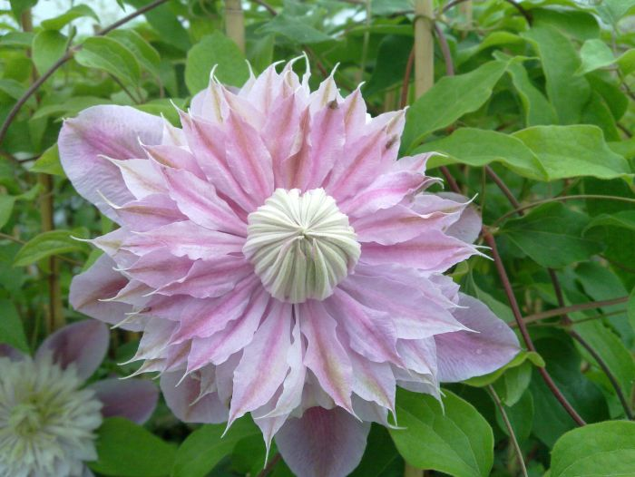 Clematis Josephine close up