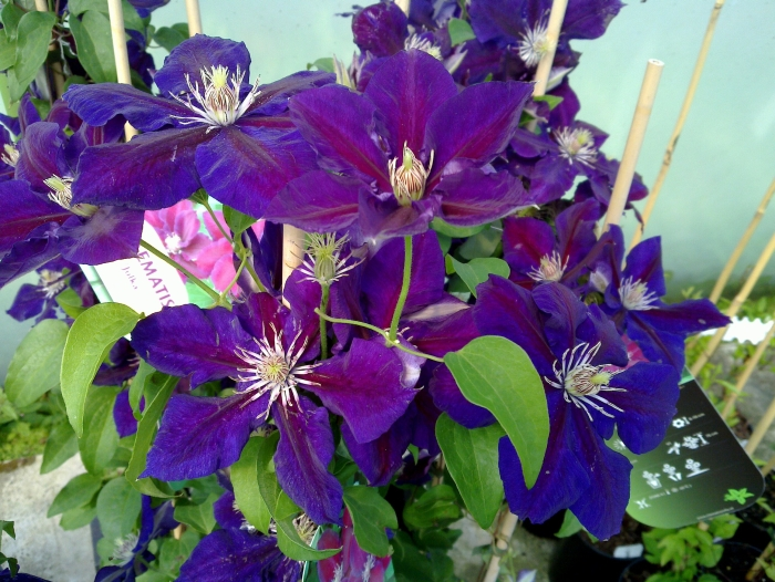 clematis Julka group shot