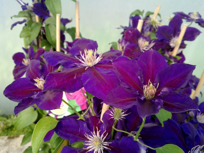 clematis Julka flowering freely