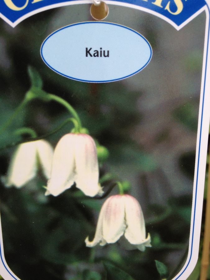 clematis Kaiu colour label