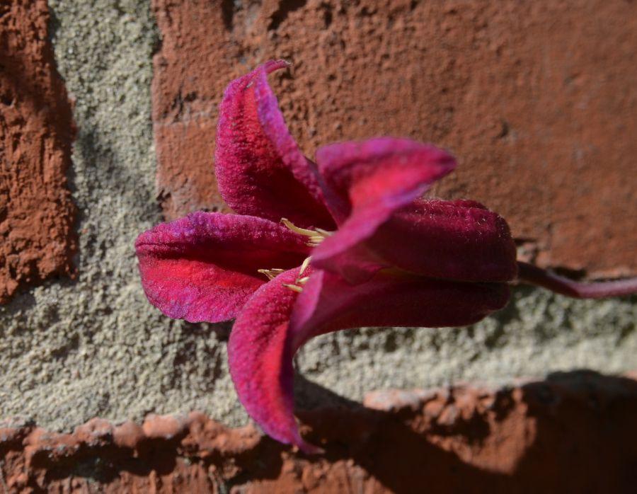 Clematis texensis Lady Bird Johnson single flower