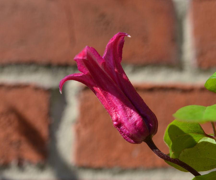 Clematis texensis Lady Bird Johnson trumpet shaped blooms