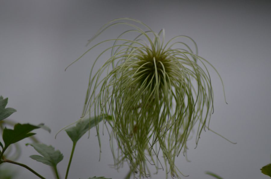 Clematis Lampton Park Seedhead close up