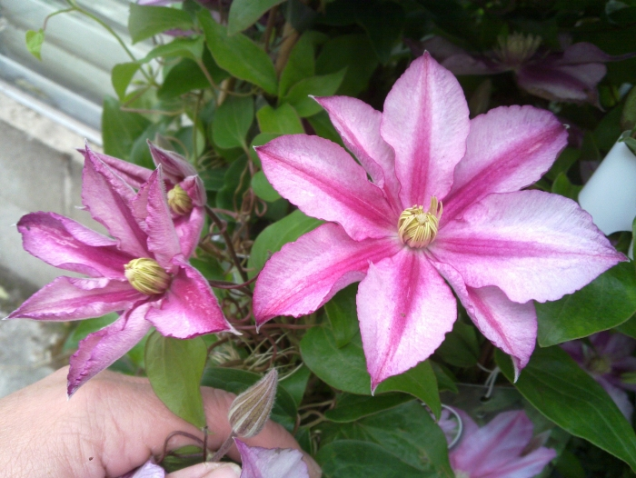 Clematis Lasting love nice 2 tone colour