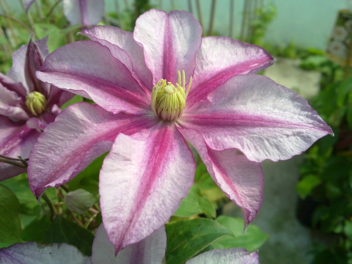 Clematis Lasting love up close