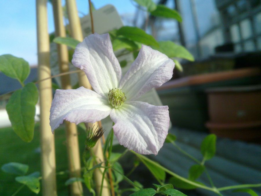Clematis Little Nell nice close up