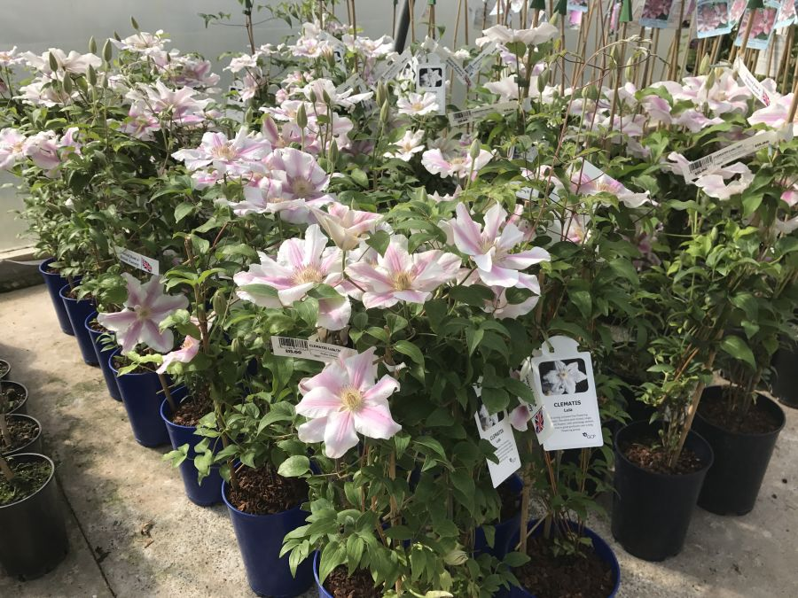 Clematis Lula more sales plants