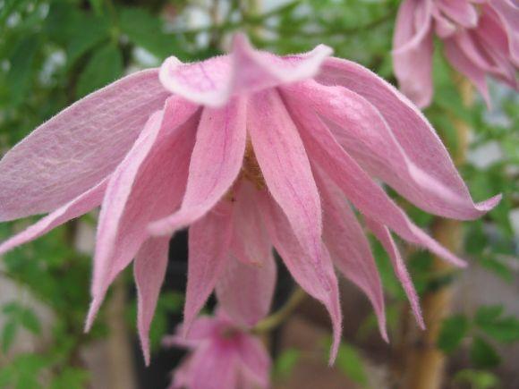 Clematis macropetala Markhams Pink