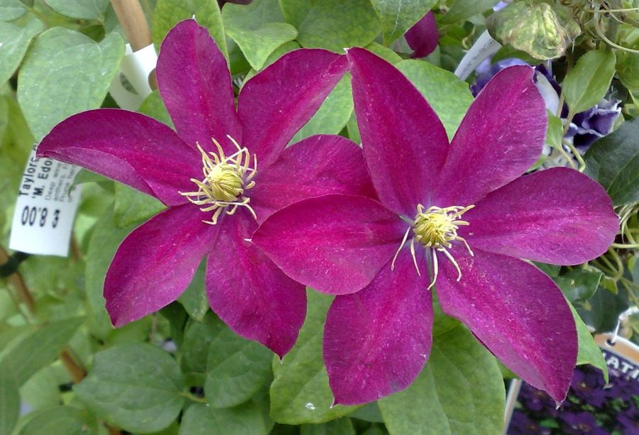 clematis Madame Edouard Andre