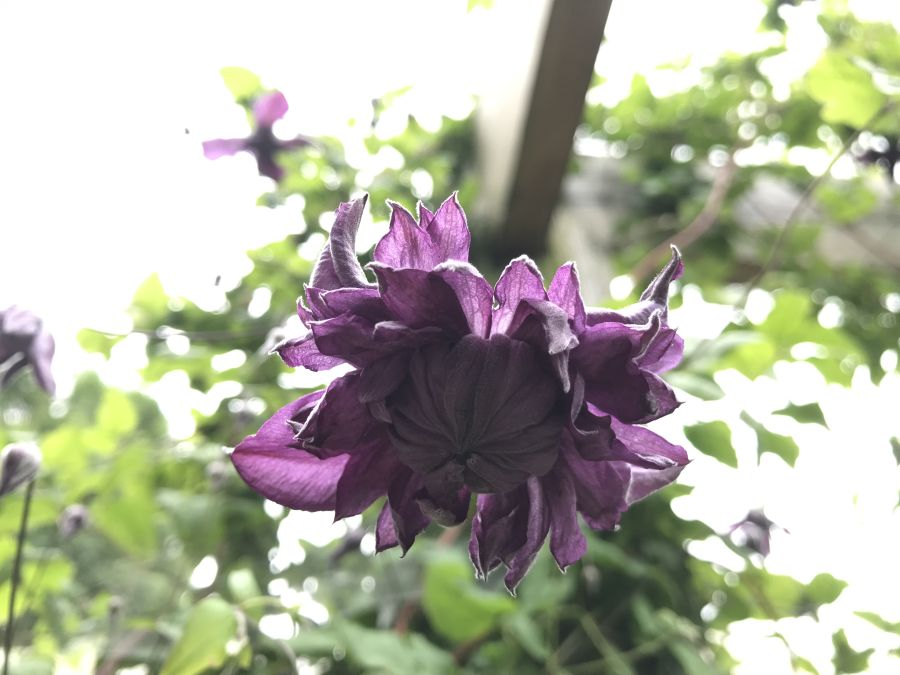 Clematis viticella 'Mary Rose' double blooms