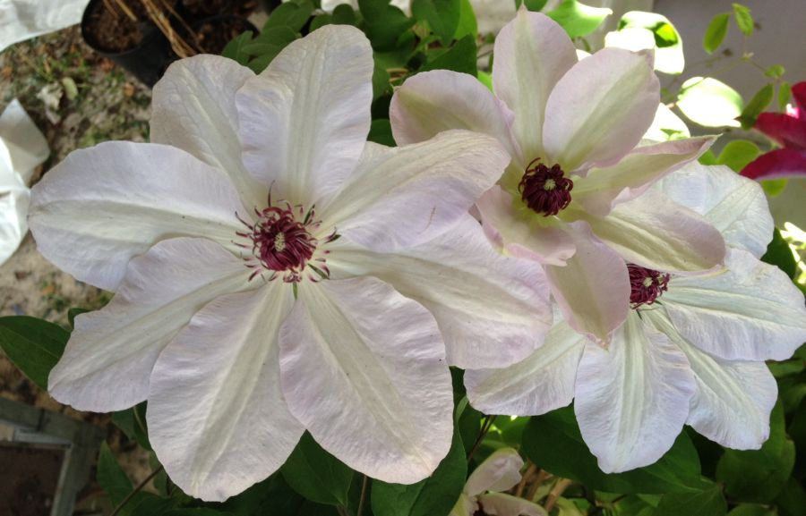 Clematis Miss Bateman great shot