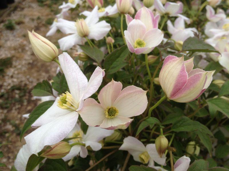 Clematis montana Miss Christine buds