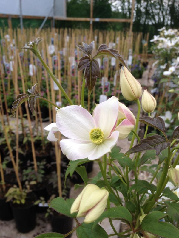 Clematis montana Miss Christine white inside pink on the outers