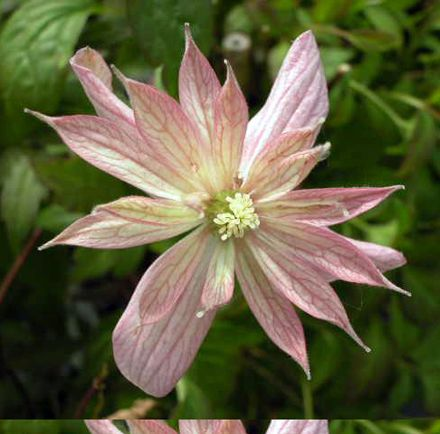 Clematis montana Marjorie up close
