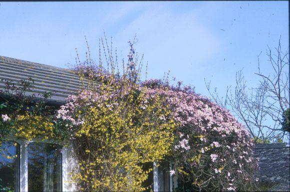 Clematis montana Rubens in a garden situation