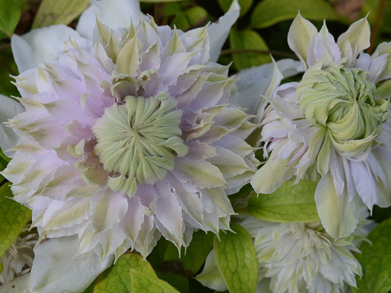 Clematis Moonglow