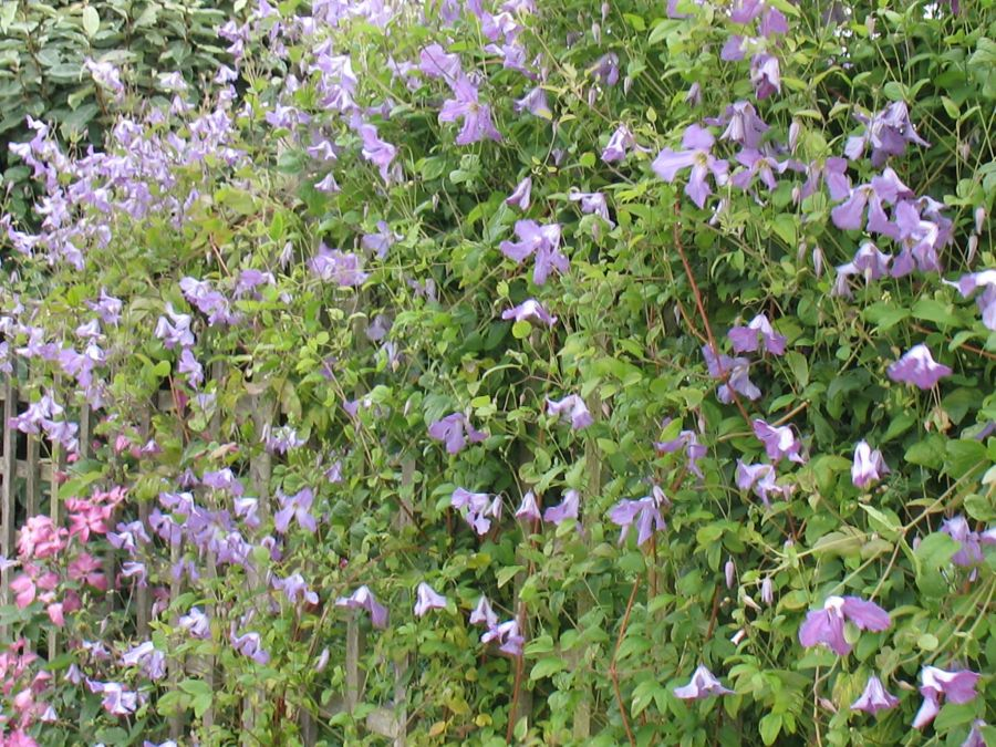 Clematis Viticella Morning Heaven mass shot