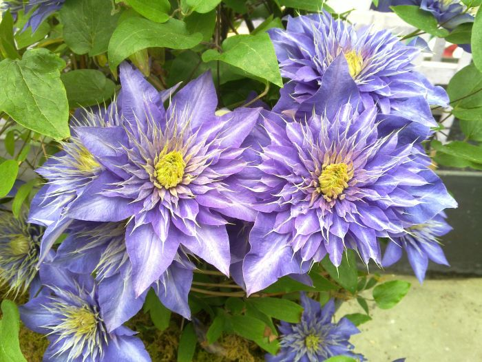 Clematis Multi-Blue group shot