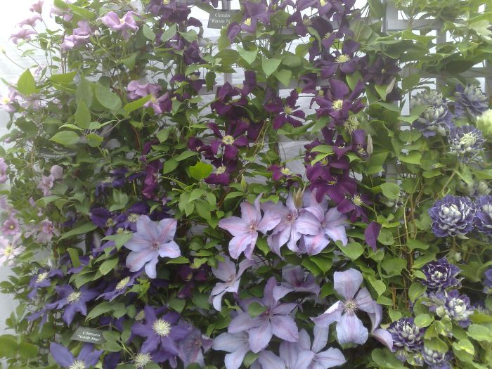 Clematis close up