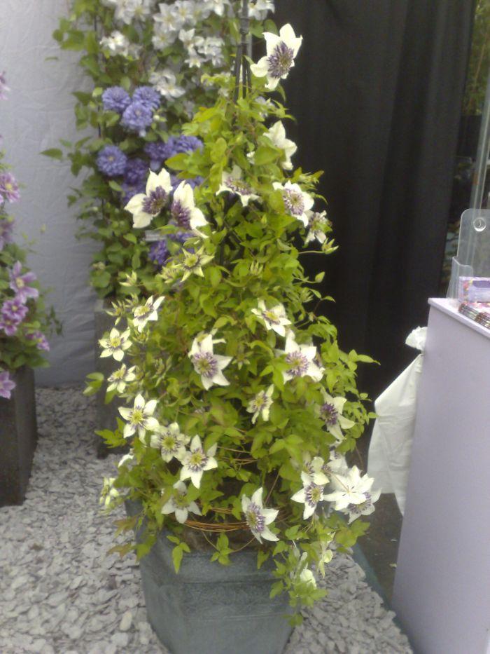 Clematis florida Sieboldii in a pot