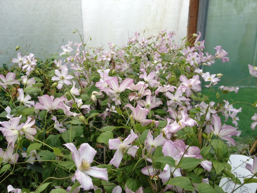 Clematis Little Nell masses of flower