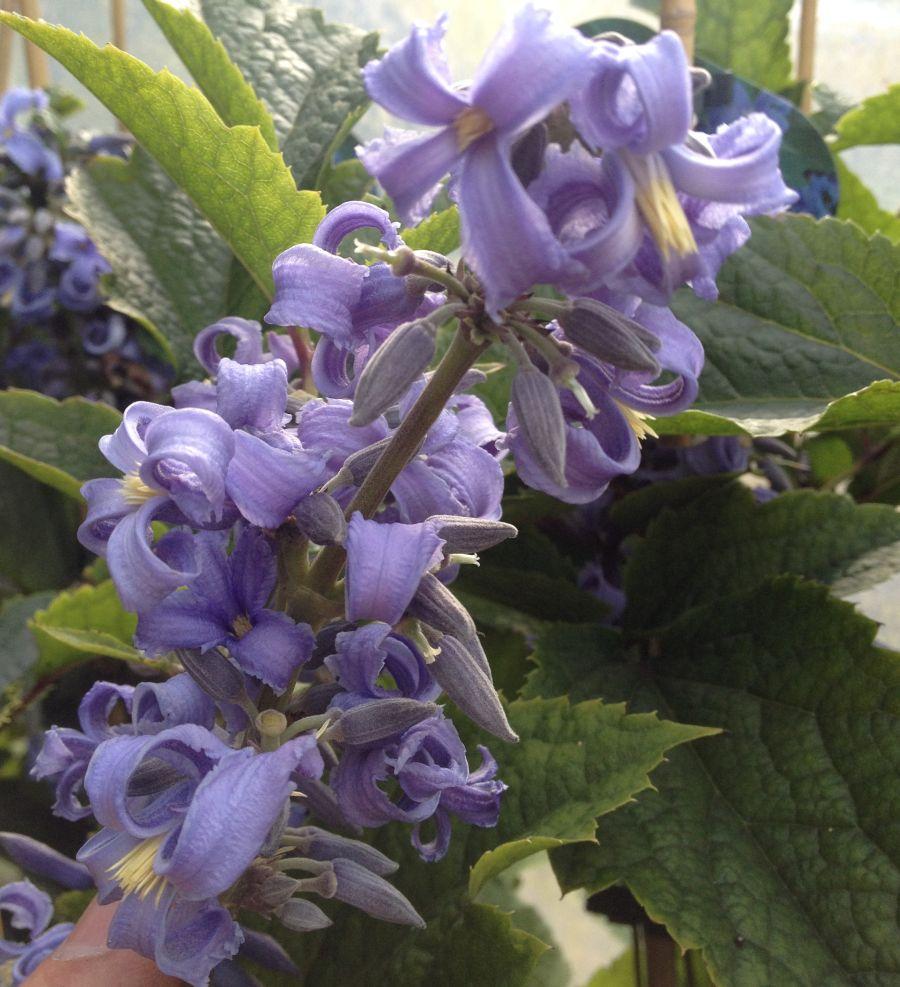 Clematis New Love flowering in clusters