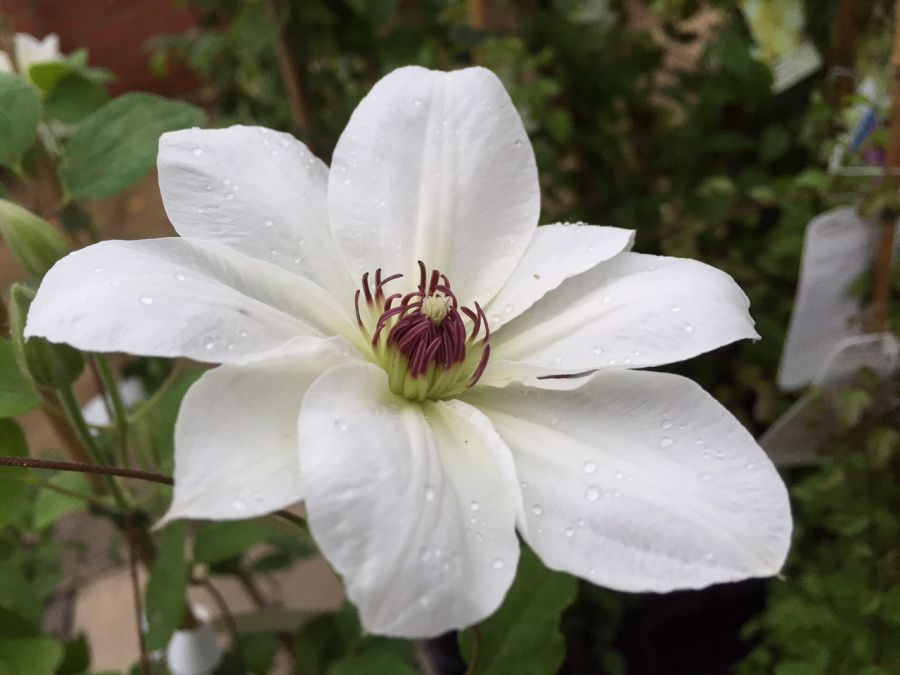 Clematis Ninon close up