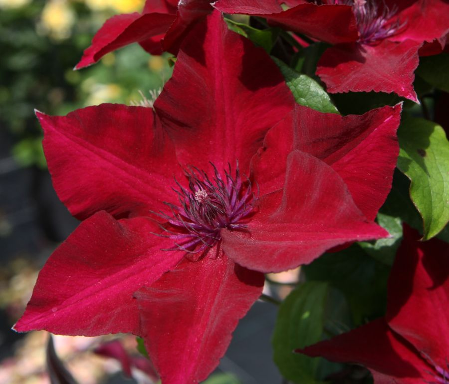 Clematis Nubia great red new for 2018