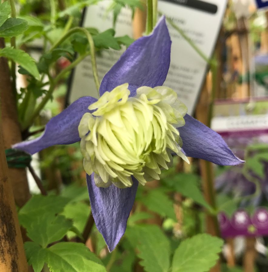 Clematis Alpina Ocean Pearl turning double