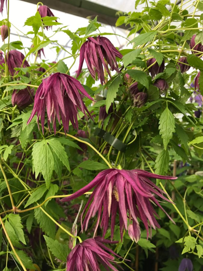 Clematis Macropetala Octopus nice nodding blooms