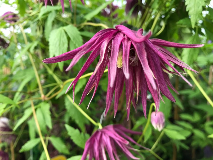 Clematis Macropetala Octopus great colours