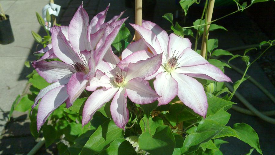 clematis omoshiro group shot