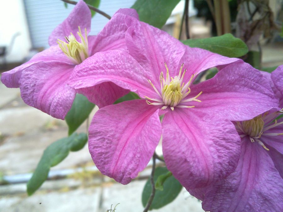 Clematis Comtesse de Bouchard great shade of pink