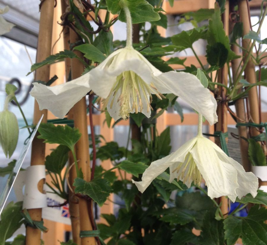 Clematis Ourika valley nice pair