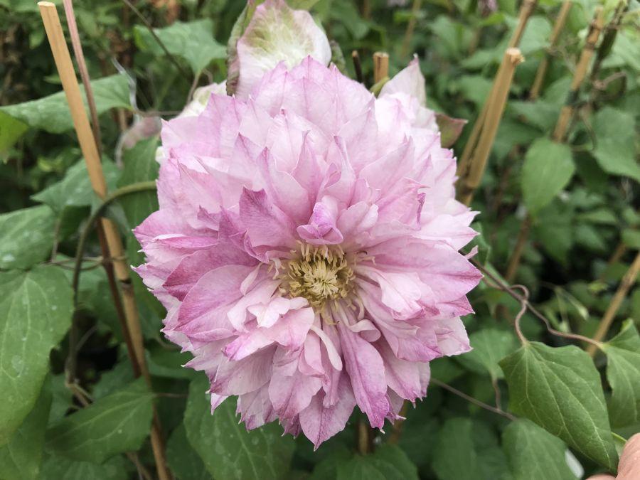 Patricia Ann Fretwell full double flower