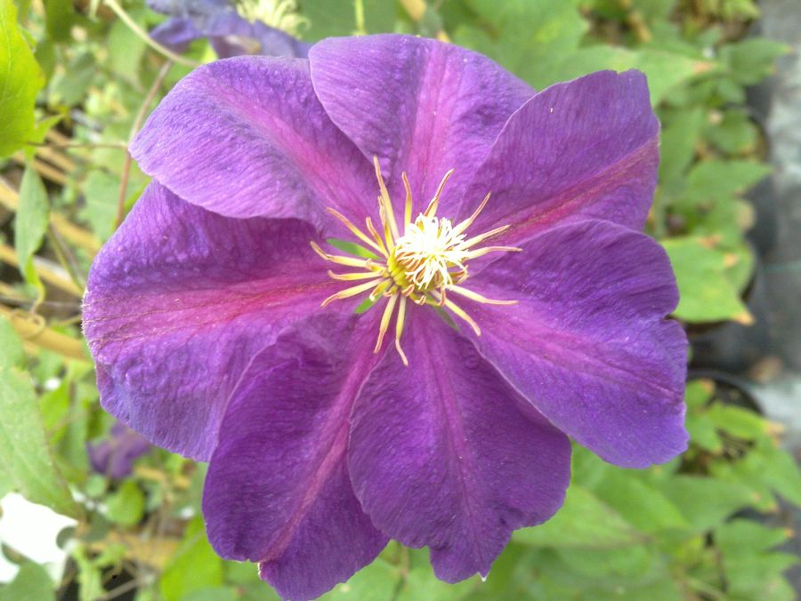 Clematis Perrins Pride nice close up