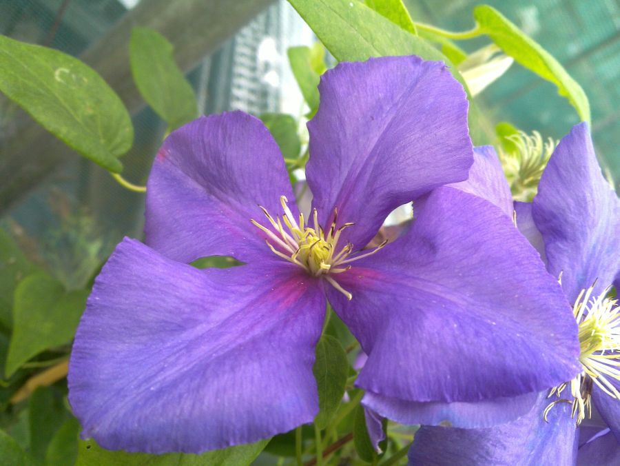 Clematis General Sikorski sometimes with 4 petals