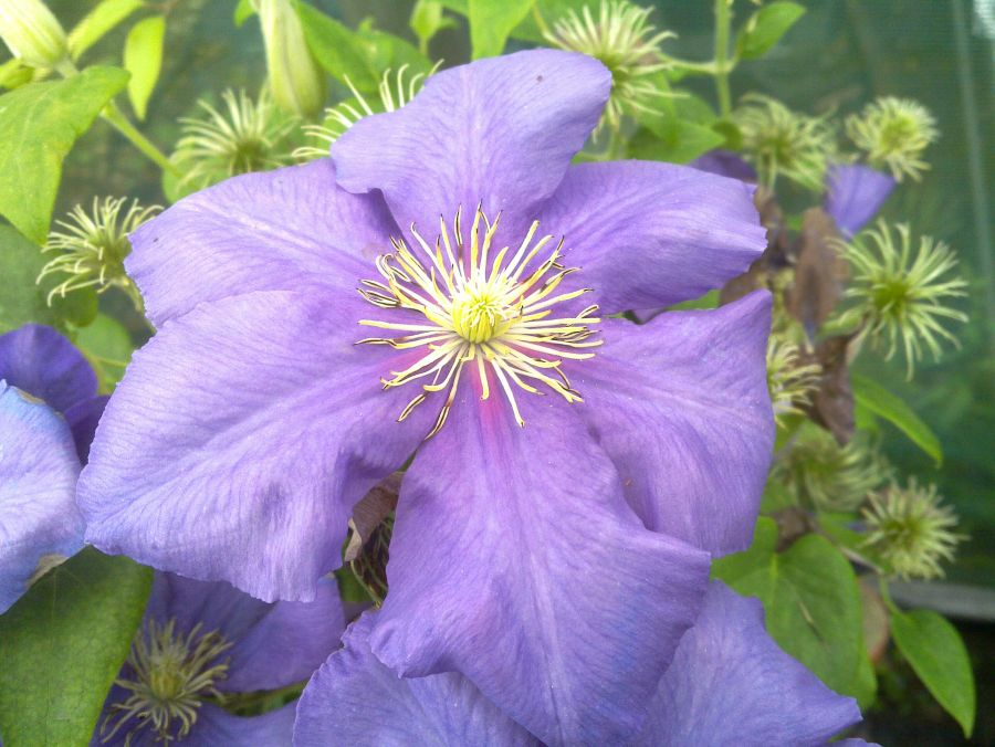Clematis General Sikorski close up