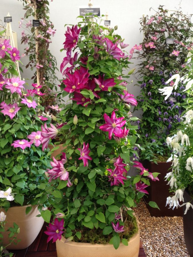 Clematis pink champagne at Chelsea 2013
