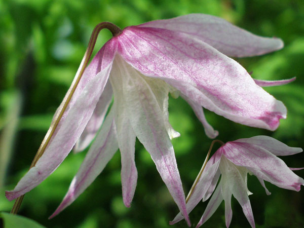 Clematis alpina Pink Flamingo close up