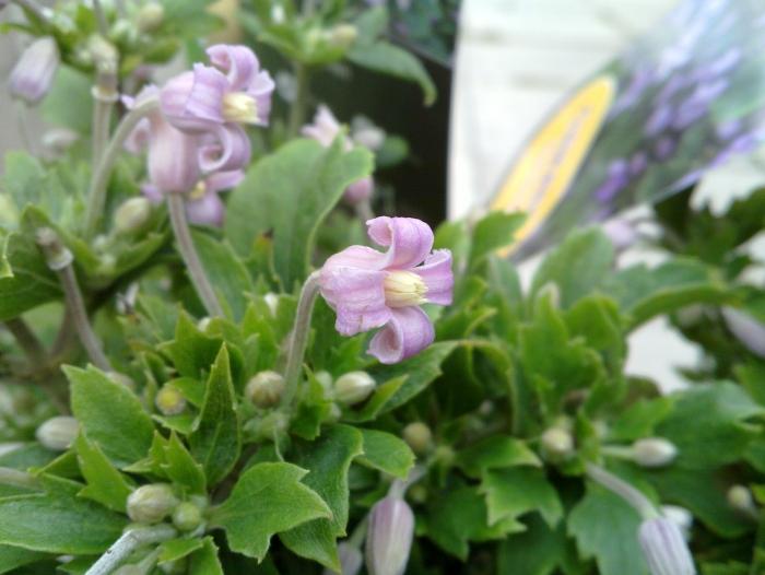 clematis pink dwarf nice small pink blooms