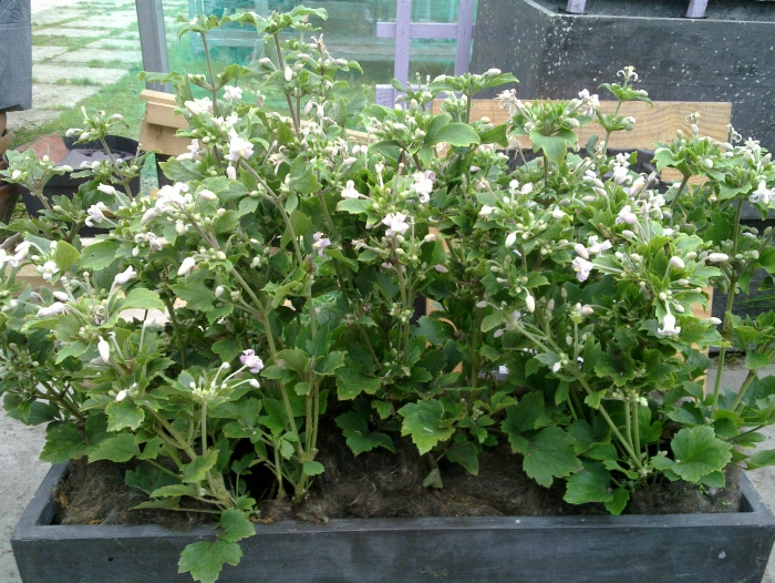 clematis pink dwarf growing in a trough