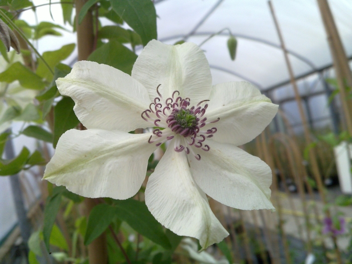 clematis florida Pistachio close up
