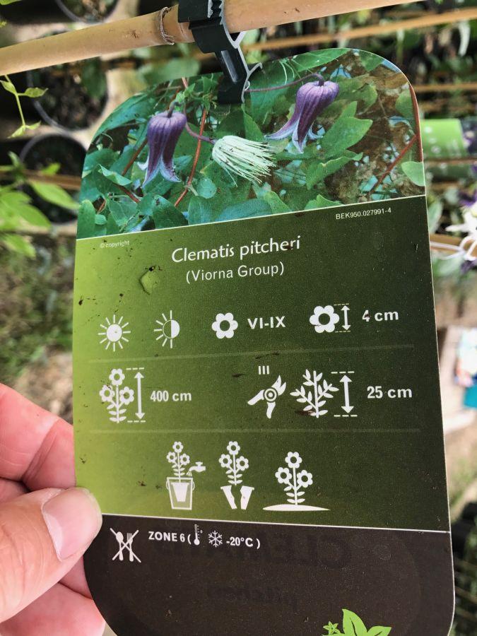Clematis pitcheri info