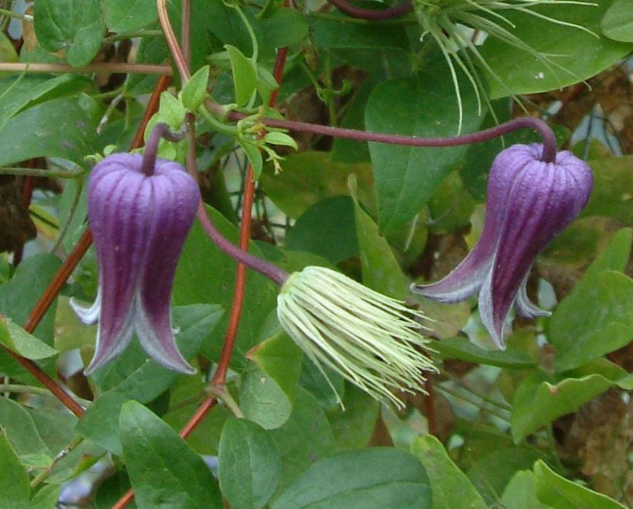 Clematis pitcheri nice pair fully out